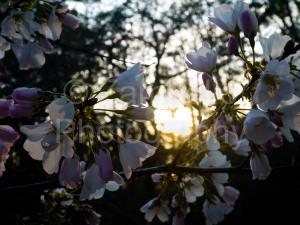 cherries, sunset, blossoms, petals, flowers, duke, duke gardens, botanical