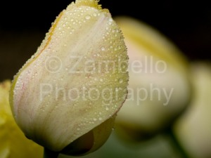 tulip, yellow, flower, blossom, petal, dew drop, water, duke, gardens, duke gardens, botanical