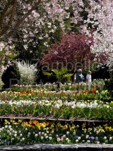 sarah p duke gardens, duke, gardens, botanical, tulips, cherries, trees, flowers, blossoms
