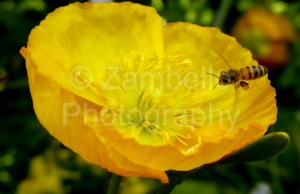flower, bee, blossom, yellow, gardens, botanical, duke gardens, duke