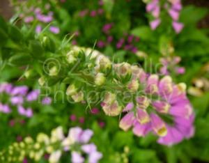 foxgloves, flowers, duke gardens, botanical, duke, gardens, green, purple, blossoms