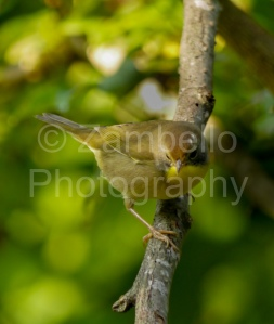 warbler, bird, birding, bird watching, nature, wildlife, north carolina, triangle land conservancy, nature preserve