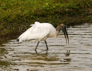 birding, birds, wood, stork, florida, wading, water