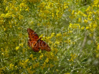 butterfly, flowers, florida, field, photography, wings