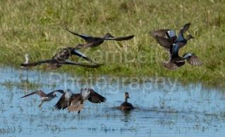 birds, birding, bird watching, teal, waterfowl, florida, water, flight, flying