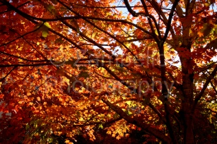 red, yellow, red, crimson, leaves, foliage, fall, autumn, nature, duke, tree