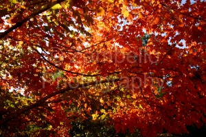 red, crimson, sunlight, leaves, foliage, tree, wildlife, nature, duke