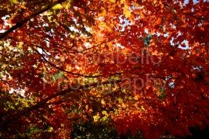 red, crimson, sunlight, leaves, foliage, tree, wildlife, nature, duke