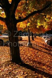 trees, yellow, gold, leaves, fall, foliage, trees, duke gardens, duke