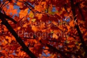 fall, autumn, red, crimson, leaves, foliage, duke, nature, wildlife