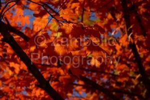 fall, autumn, red, crimson, leaves, foliage, duke, nature, wildlife