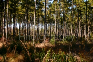 pine, plantation, trees, forest, georgia