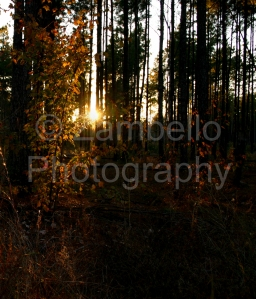 sunset, forest, trees, plantation, pine, nature, georgia
