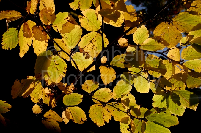 autumn, foliage, leaves, gold, yellow, duke, north carolina