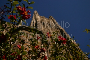 duke chapel, camellias, duke, north carolina, flowers