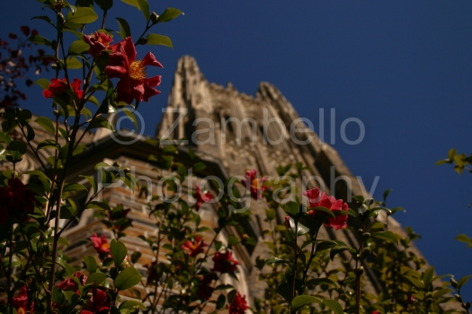 duke chapel, camellias, duke, north carolina, flowers