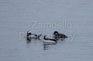 buffleheads, maine, birding, water, ocean, portland, waterfowl, seabirds, back cove