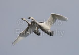 tundra swans, swans, birding, birds, bird watching, lake mattamuskeet, lake pocosin, migration, waterfowl, north carolina, winter