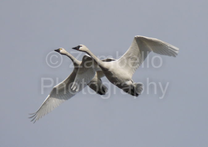 tundra swans, swans, birding, birds, bird watching, lake mattamuskeet, lake pocosin, migration, waterfowl, north carolina, winter