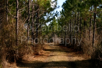 georgia, forest, pine, ecology, environment, road, field work