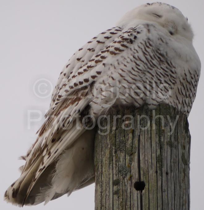 owl, snowy owl, birding, birds, bird watching, maine, coastline, sunset, ducks, waterfowl, biddeford, winter, 2014, 2015