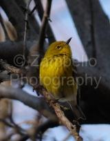 warbler, pine, birds, duke gardens
