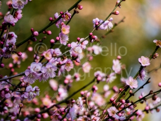 blossoms, duke gardens, spring