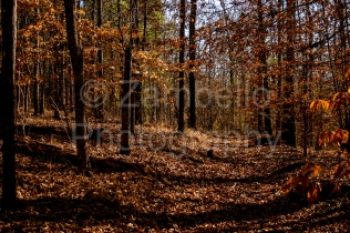 forest, alabama, trees