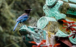 stellar's jay, golden gate park, san francisco, california