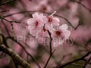 blossoms, flowers, duke gardens, north carolina, spring