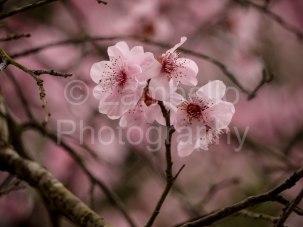 blossoms, flowers, duke gardens, north carolina, spring