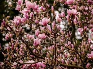 flowers, blossoms, magnolias, duke gardens, spring