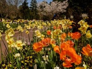 tulip, duke gardens, flowers, spring