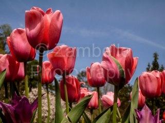 tulips, flowers, spring, duke gardens