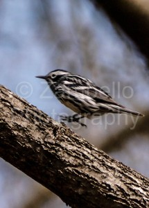 birding, warbler, spring, north carolina