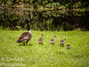 canada geese, chicks, birding, maine