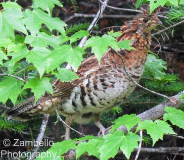 grouse, birding, maine