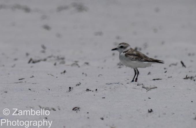 snowy plover