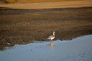 snow goose, goose, birding, florida