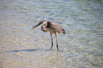 ocean, pollution, florida, heron, birding