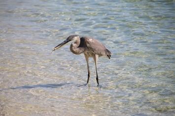 ocean, pollution, florida, heron, birding