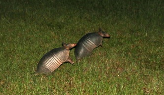 A pair of wary armadillo.