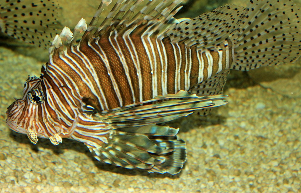 lionfish, nature, florida, invasive species, fish