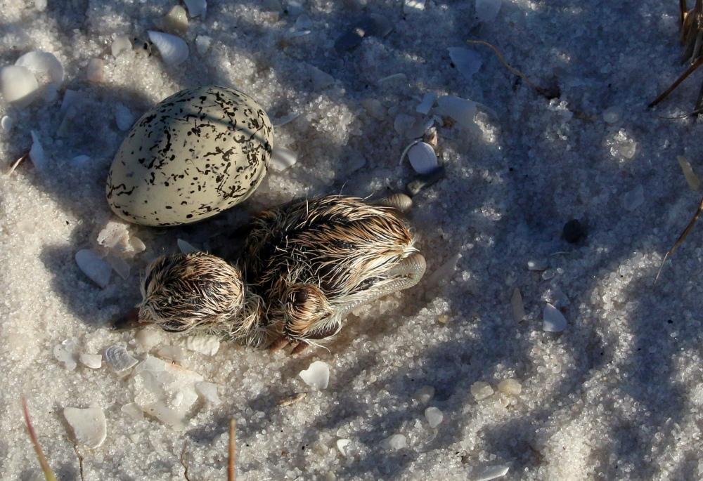 plover, chick, baby, bird, birding, florida