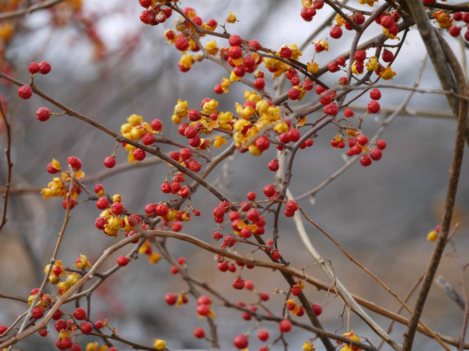 maine, nature, berries, landscape