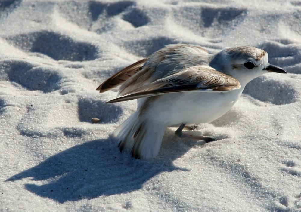 nature, florida, bird, plover