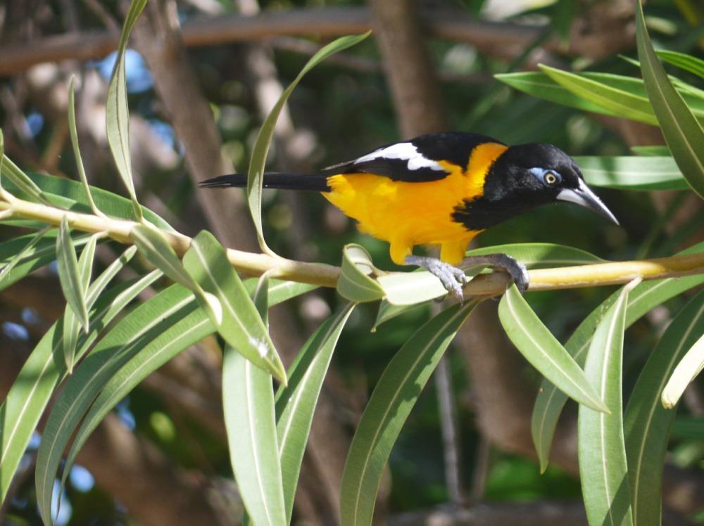 venezuelan, troupial, bird