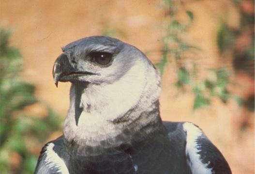 harpy eagle, nature