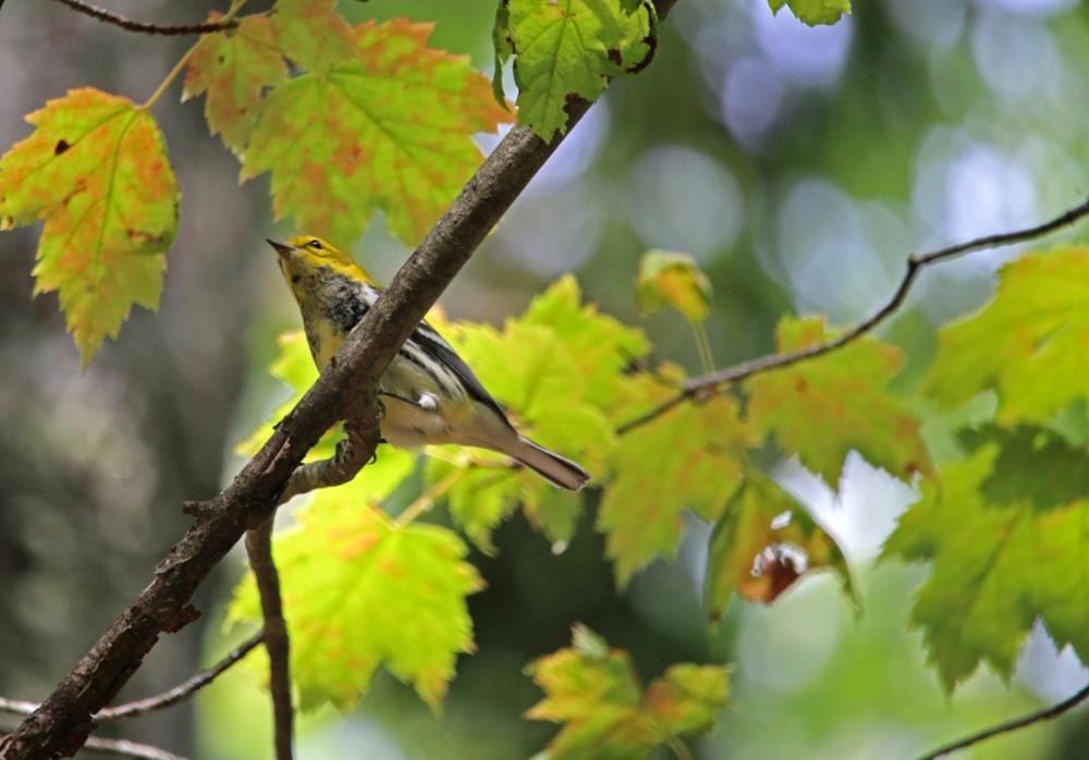 warbler, nature, bird
