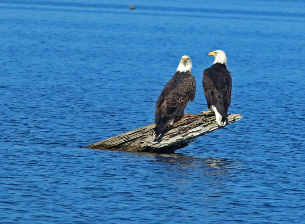 bald eagles, nature, florida